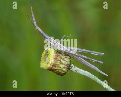 Mediterrane Slant-faced Grasshopper (Acrida Ungarica) Erwachsenen ruht auf Blütenstiel, Zypern, März 2015 - Stockfoto