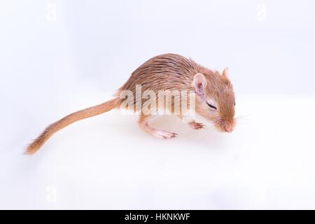 Mongolische Rennmaus, Wüste Ratte auf weißem Hintergrund - Stockfoto