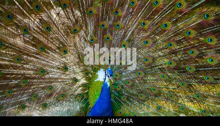 Pfau. Portrait von wunderschönen Peacock mit Federn aus. Nahaufnahme von Peacock seine wunderschönen Federn angezeigt. - Stockfoto