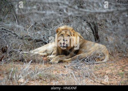Löwe liegend und ruht auf Savannah Rasen zwischen trockenen Büschen im Kruger Nationalpark - Stockfoto