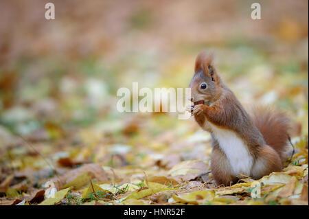 Neugierig niedliche Eichhörnchen Eatinh Haselnuss im herbstlichen Wald Boden mit gelben Laub. Foto mit schönen erlauben - Stockfoto