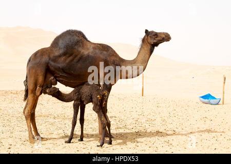 kostenlose Dromedar in der Nähe der Himmel in Oman Khali Wüste - Stockfoto