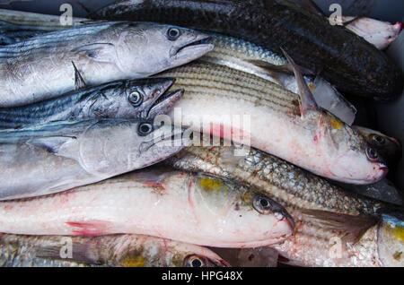 Ein Korb mit frischem Fisch, gelb Fischernetze auf Fischerboot, Kreta, Griechenland. - Stockfoto