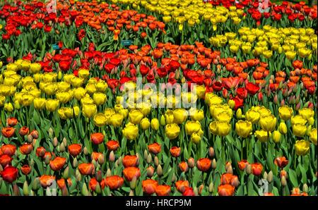 Blume Betten mit roten und gelben holländische Tulpen, Keukenhof Gärten, Lisse, Niederlande - Stockfoto