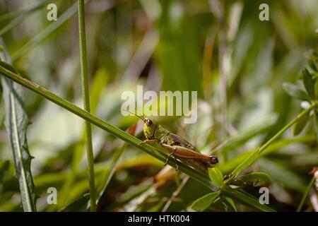 Grüne Heuschrecke auf einem Stiel des Grases in Lika, Kroatien - Stockfoto