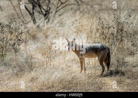 Goldschakal stehend und Rückblick auf Gir Wald - Stockfoto