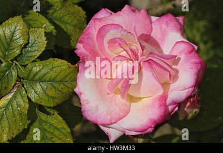 Rose in einem Garten von Spanien - Stockfoto