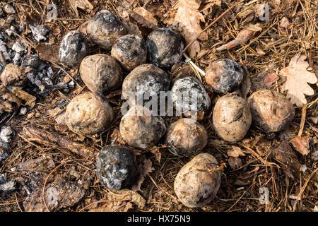 Kartoffeln gekocht in das Holz. Gebackene Kartoffeln. - Stockfoto