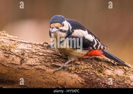 Ein Buntspecht thront auf einem Baum - Stockfoto