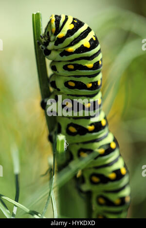 Schwalbenschwanz Schmetterling Raupe eine Dill-Anlage, bis auf den Stamm, im Garten zu genießen. - Stockfoto