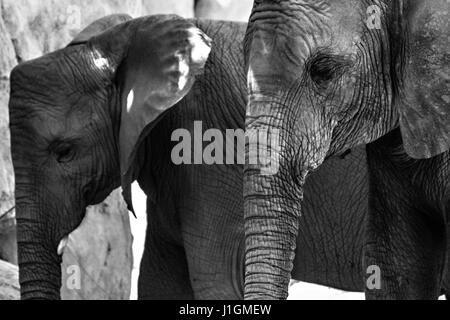 Porträt von zwei schöne Elefanten - Stockfoto