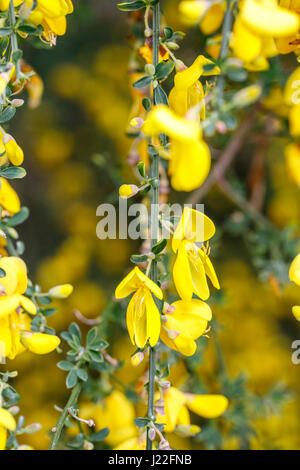 Leuchtend gelbe Frühling Blüte Besen Bush als ein Zierstrauch in einem Garten in Surrey, Süd-Ost-England im Frühling - Stockfoto