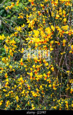 Gelb und orange Frühjahr blühende Besen Bush als ein Zierstrauch in einem Garten in Surrey, Süd-Ost-England im Frühling - Stockfoto
