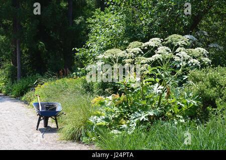 Riesenbärenklau (Heracleum Mantegazzianum) und Schubkarre in einem Garten - Stockfoto