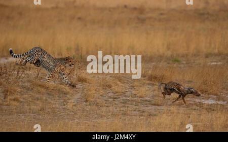 Ein junger Gepard jagt ein Schakal in Sambia. - Stockfoto