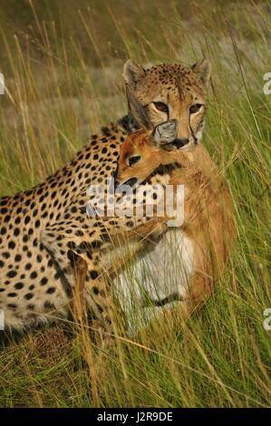 Ein Gepard ersticken fotografierte ein Steinböckchen Liuwa-Plain-Nationalpark, Sambia. - Stockfoto