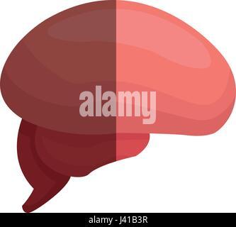 Gehirn menschliche Teil gesunden Organ Bild - Stockfoto
