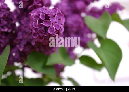Blüte Blüten gedeihen blühenden Strauß dekorative lila duftenden Blumen - Stockfoto