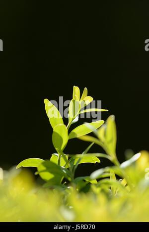 Kasten, gemeinsame Box, Buxus Sempervirens, Seitenansicht der Hintergrundbeleuchtung Blätter. - Stockfoto