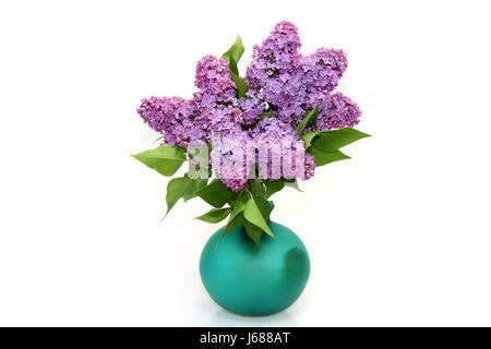 lila strauss - Stockfoto