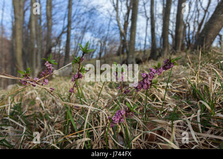 Februar Daphne in Blüte - Stockfoto