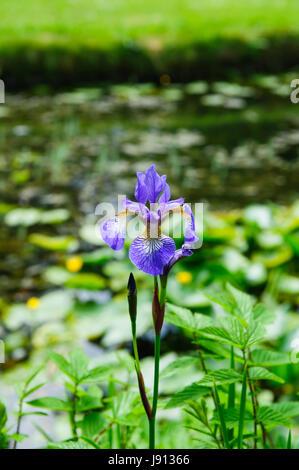 Wild Iris Blume in der Natur, Irland - Stockfoto
