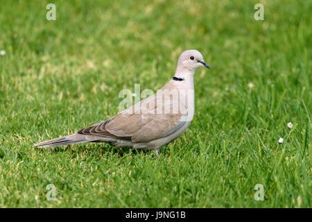 Grauen Kragen Taube Vogel - Stockfoto
