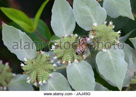 Eine Honigbiene besucht die Blüten ein kurzer gezahnten Berg Minze Strauch. - Stockfoto