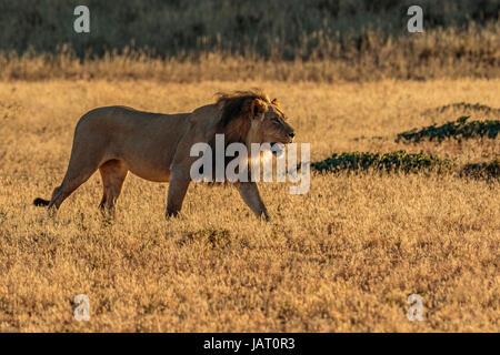 Große schwarze Mähne männlicher Löwe (Panthera Leo) der Kalahari, Wandern in der hinterleuchtete, am frühen Morgen, - Stockfoto