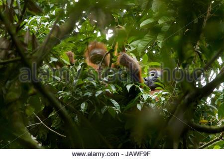 Eine Erwachsene weibliche Bornean Orangutan, Pongo Pygmaeus Wurmbii und juvenile Rest in einem Baum im Gunung Palung - Stockfoto