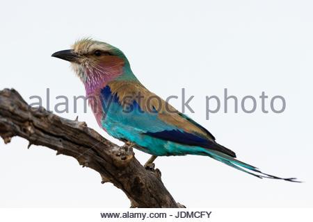 Ein Lilac-breasted Roller, Coracias Caudatus, hocken auf einem Ast. - Stockfoto