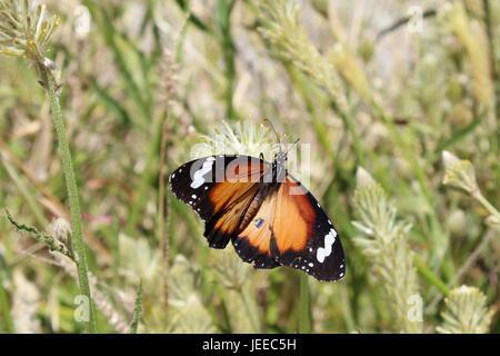 Plain Tiger mit offenen Flügeln im northern Territory von Australien - Stockfoto