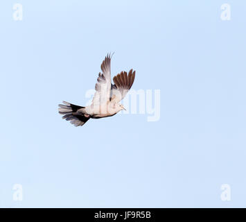 Eurasian collared Taube im Flug - Stockfoto