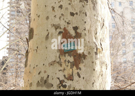 Platanus acerifolia Baum Detail, Madison Square Park, die Fifth Avenue an der 23. Street, New York, United States - Stockfoto
