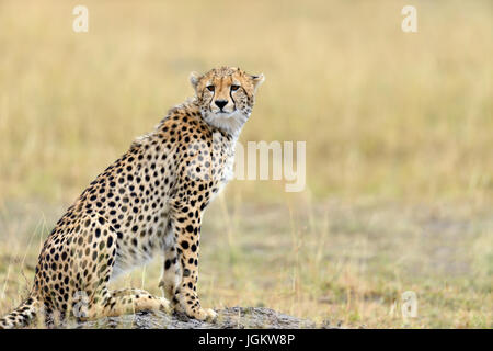 Gepard auf Grünland im Nationalpark Afrikas - Stockfoto