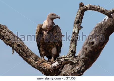 Ein Weißrückenspecht Geier, abgeschottet Africanus, auf der Spitze eines Baumes. - Stockfoto