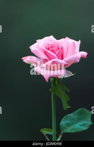 Rosa Rose vor einem grünen Hintergrund. - Stockfoto