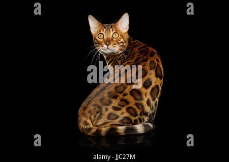 Bengal-Katze, die auf schwarzen Hintergrund isoliert - Stockfoto