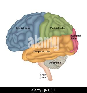 Anatomie des Gehirns. Seitenansicht des menschlichen Gehirns. Abbildung isoliert auf weißem Hintergrund. - Stockfoto
