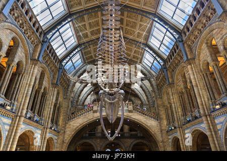 Natural History Museum London, Hintze Hall, bis zu blauwal Skelett namens Hoffnung auf Anzeige - Stockfoto