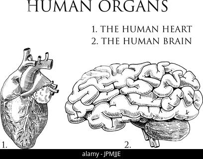 Humanbiologie, Organe Anatomie Abbildung. gravierte handgezeichnete im alten Skizze und Vintage-Stil. Körper, Seele, - Stockfoto