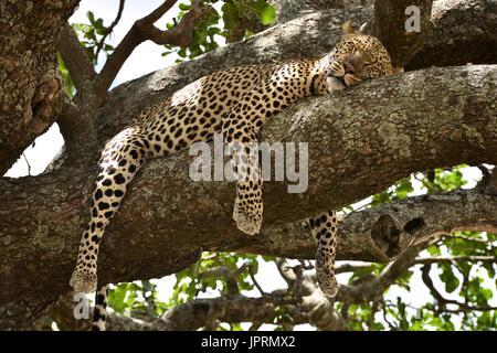 Leopard braucht Zeit auf einem Ast in der Serengeti National Park. - Stockfoto
