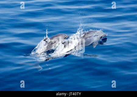 Indo-pazifischen Großer Tümmler (Tursiops aduncus) Mutter und Kind auftauchen in diesem gläsernen Meer - Stockfoto