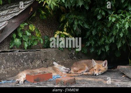 Red Fox Cubs, Vulpes vulpes, Rest bis auf einen Garten in einem Garten, London, Vereinigtes Königreich - Stockfoto