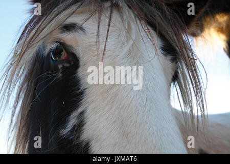 Porträt eines Tinker Pferd. - Stockfoto