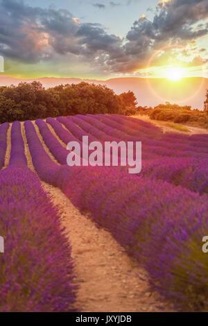 Provence Lavendelfeld bei Sonnenuntergang, das Plateau von Valensole in Südfrankreich - Stockfoto