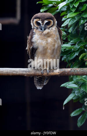 Braunes Holz Eule, Strix leptogrammica. Hamerton Zoo Park, Cambridgeshire. - Stockfoto