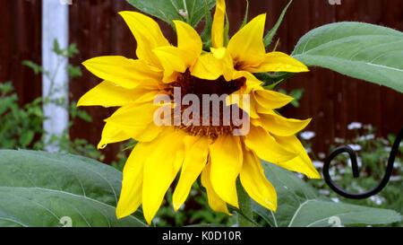 Sonnenblume de Garten - Stockfoto