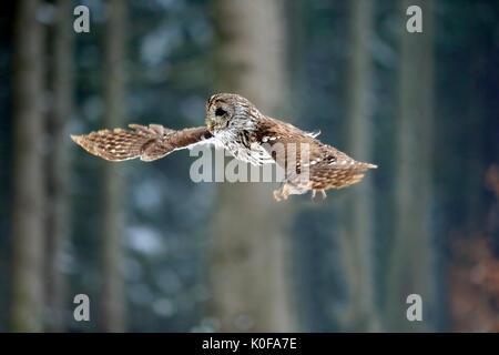 Waldkauz (Strix aluco), erwachsene Fliegen im Winter, Zdarske Vrchy, Böhmisch-Mährische Höhe, Tschechische Republik - Stockfoto