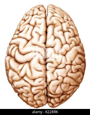 Teil des zentralen Nervensystems im Schädel eingeschlossen, bestehend aus dem Großhirn, Kleinhirn und Hirnstamm; - Stockfoto